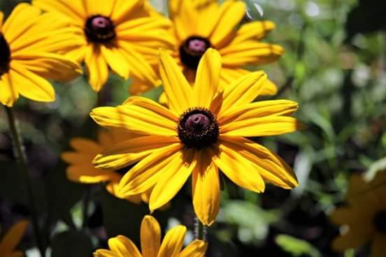 Black Eye Susan Flower, Southern Illinois