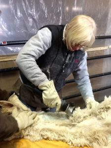 shearing alpaca, illinois